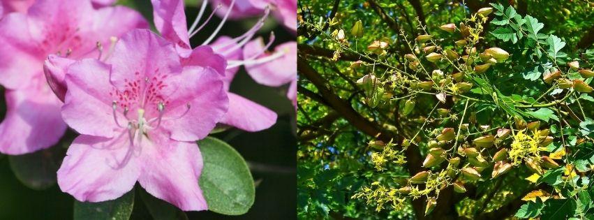 Rhododendron et Savonnier