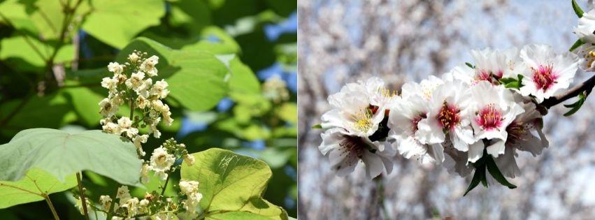 Catalpa et Amandier à Fleurs